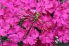 DAMSELFLIES, DRAGONFLIES-Dragonfly, 2009.6.23#0019. Aeshna species. Anchorage, Alaska.