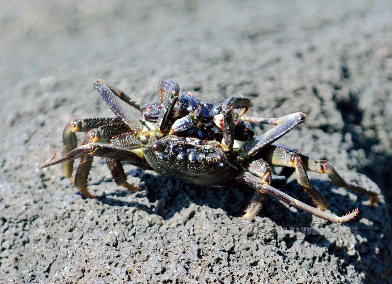 X-MARINE-Crab, Hawaiian Rock 2015.2.1#312.3. Kona Coast, Hawaii