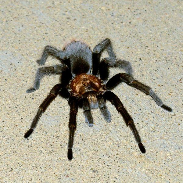 Spider-Aphomopelma chalcodes 2017.7.0#017. Desert Tarantula. Out after a summer monsoon. Prescott Valley Arizona.