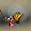 BUTTERFLIES-Swallowtail, Western Tiger 2018.4.1#054. Papilio rutulus, nectering on Peach blossoms. Prescott Valley Arizona.