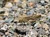 CRICKETS, GRASSHOPPERS, MANTIS-Grasshopper-Unknown species 2017.7.31#124.4. Mingus Mountain Arizona.