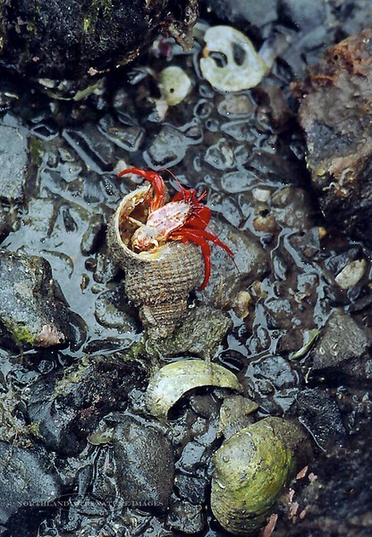 X-MARINE-Red Hermit Crab 2003.5#011.3. Pigot Bay, Prince William Sound, Alaska.