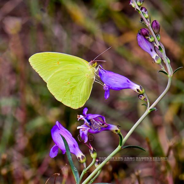 Butterfly-Eurema species, Sulphur Butterfly 2018.9.22#513. Mingus Mountain Arizona.