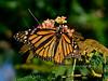 Butterfly-Monarch 2017.7.22#129. Danaus plexippus,  a female looking a little tattered. Prescott Valley Arizona.