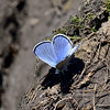 Butterfly-Blue, Silvery 2018.4.26#218. Glaucopsyche lygdamus. Kaibab forest Grand Canyon Nat. Park Arizona.