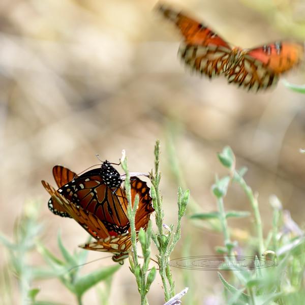 Butterfly-Soldier species 2018.5.1#025. Desert Museum Tucson Arizona.