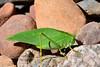 CRICKETS, GRASSHOPPERS, MANTIS-Katydid-Greater Angle-winged 2018.9.14#013. Microcentrum rhombofolium. Prescott Valley Arizona.