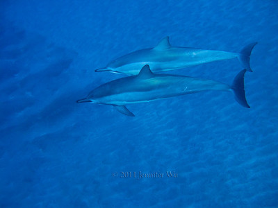 Wild Spinner Dolphins, Hawaii  Dolphins_0085