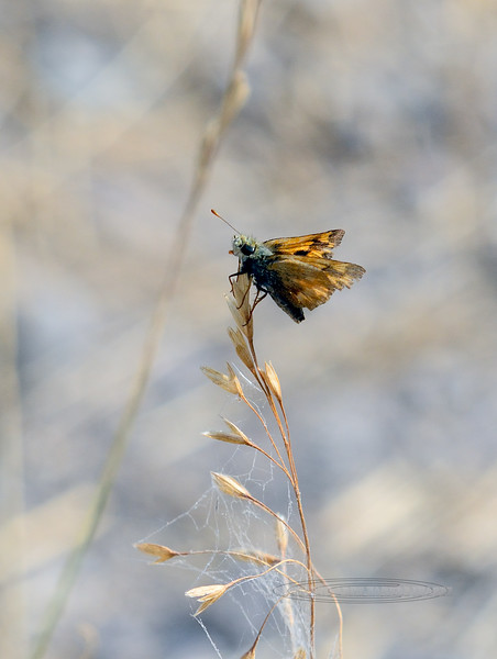 Butterfly-Skipper species 2017.9.12#3118. Nat. Bison Range, Montana.