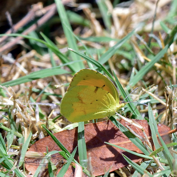 Butterfly-Colias species 2018.5.21#1659. Procter trail Madera Canyon Arizona.