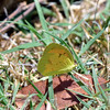 BUTTERFLIES-Yellow, Mexican 2018.5.21#1659. Eurema mexicana, puddling in a wet area after a rain. Procter trail Madera Canyon Arizona.