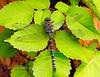 DAMSELFLIES, DRAGONFLIES-Dragonfly, Paddle-tailed Darner 2012.8.16#164. Aeshna palmata. Anchorage, Alaska.
