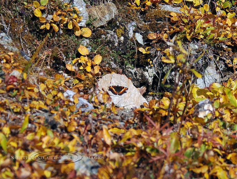 Butterfly-Tortoiseshell 2006.9.3#0113. Primrose Ridge Denali Nat. Park Alaska.