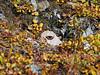 Butterfly-Milbert's Tortoiseshell 2006.9.3#0113. Nymphalis milberti.  Primrose Ridge Denali Nat. Park Alaska.