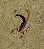 SCORPION-Hoffmannius spinigerus 2021.10.16#8069.3. Prescott Valley,Arizona.