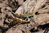 CRICKETS, GRASSHOPPERS, MANTIS-Grasshopper-Unknown species 2018.9.22#421.3. Mingus Mountain Arizona.