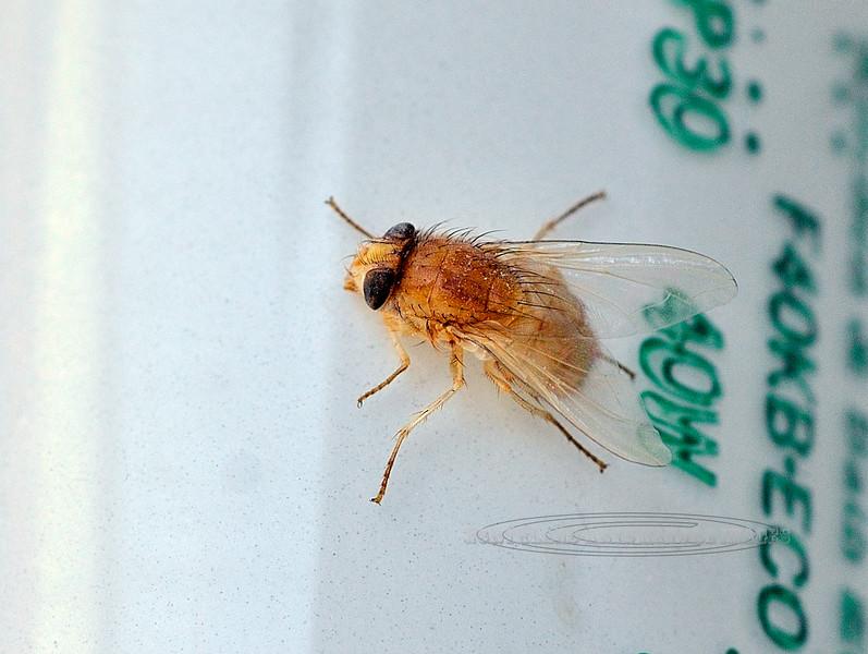 Fly-Tachinid species 2010.8.22#007. Anchorage Alaska.