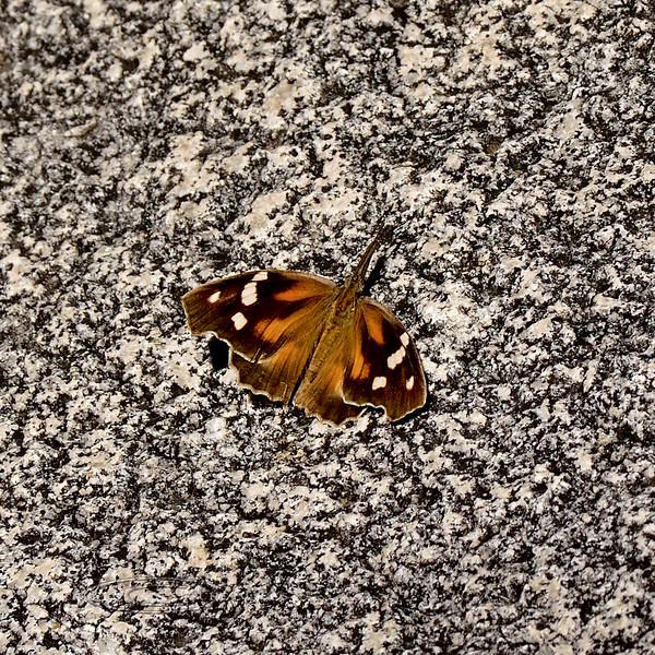 Butterfly- Am. Snout 2018.10.5. Madera Canyon Arizona.
