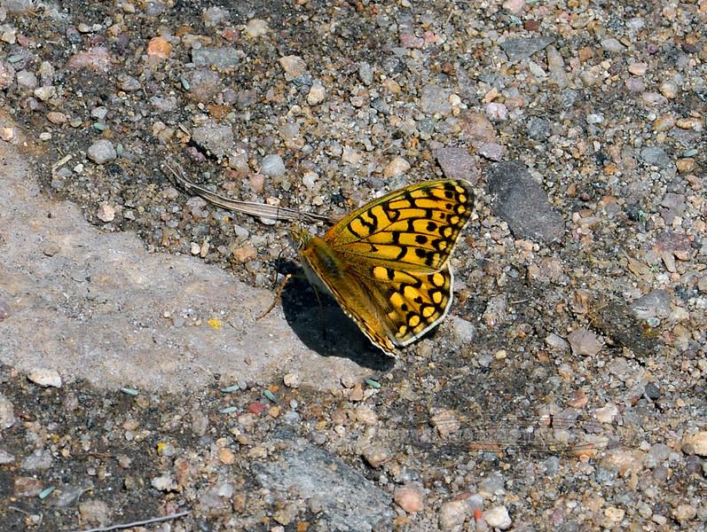 BUTTERFLIES-Fritillary sp. 2018.7.6#4861. Speyeria sp. Powder River Wyoming.
