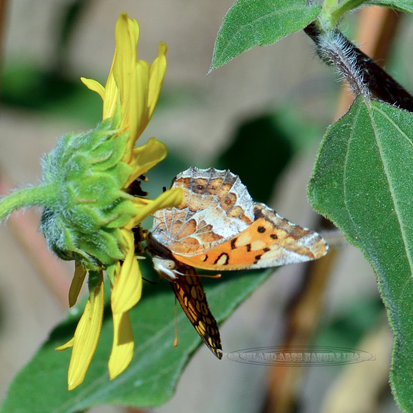Butterfly-UK, similar to phsiodes texana 2018.9.28#161. Mingus  Mountain Arizona.