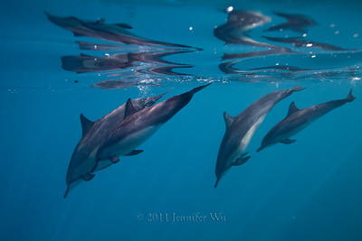 Wild Spinner Dolphins, Hawaii  20110421_Dolphins_048