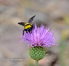 Bee-Bombus species 2020.7.23#1467.3. Bumble Bee sp. nectering on a Wheeler's Thistle. Mingus Mountain Arizona.