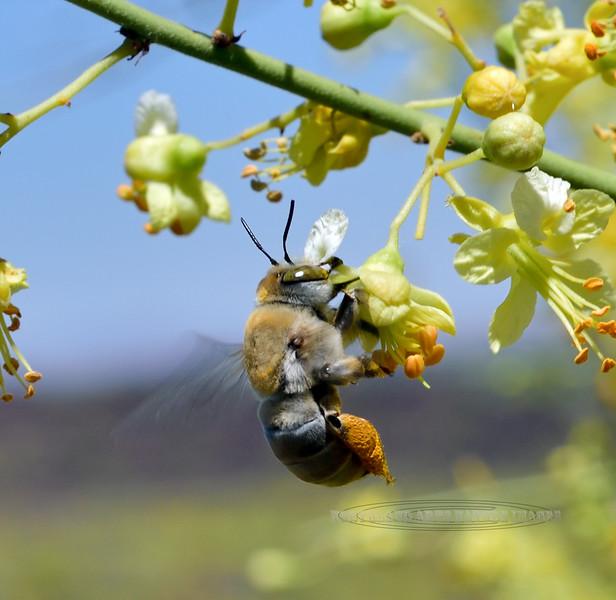 BEES-Digger species 2019.4.28#014.4. Centris Pallida. North of Congress Arizona.