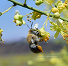 Bee-Digger species 2019.4.28#014.4. Centris Pallida. North of Congress Arizona.