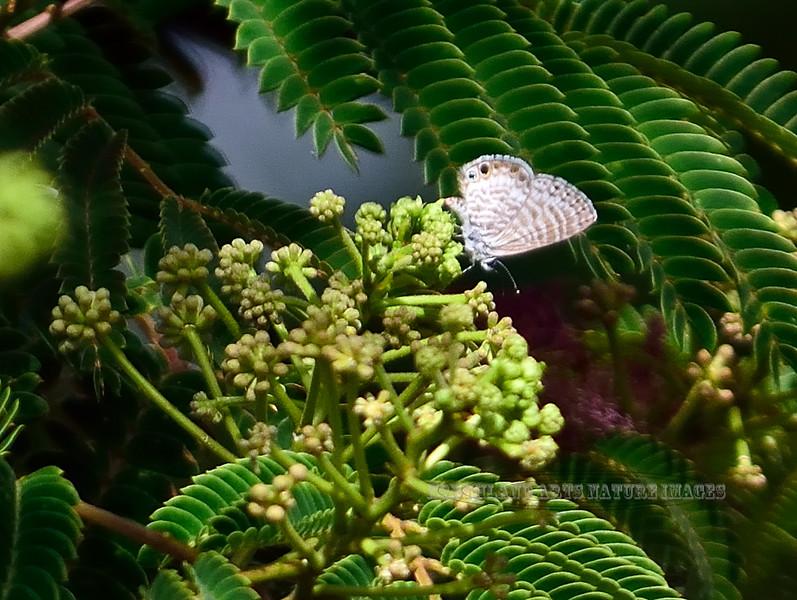 Butterfly-Leptotes marina, Marine Blue 2017.6.6#045. Prescott Valley Arizona.
