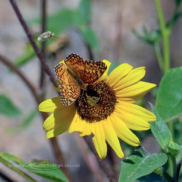BUTTERFIES-Fritillary, Varigated 2018.9.28#138. Euptoieta Claudia, with a hovering Digger  Bee. Upper Agua Fria, Yavapai County Arizona.