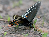 Butterfly-Papilio troilus, Spicebush Swallowtail 2014.5.19#029. Lake Warren, Bucks County Pennsylvania.