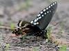 BUTTERFLIES-Swallowtail, Spicebush 2014.5.19#029. Papilio troilus, probing in mud. Lake Warren, Bucks County Pennsylvania.