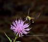 MOTHS-Hummingbird Clearwing Moth2020.7.25#2281.3. Hemaris diffinnis. Mingus Mountain Arizona.