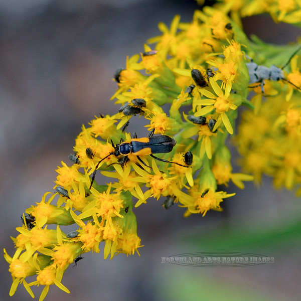 Beetle-UK, perhaps flower or soldier Beetle 2018.9.22#657. Mingus mountain Arizona.
