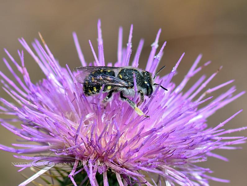Bee-UK Species 2018.9.22#175. Mingus mountain Arizona.