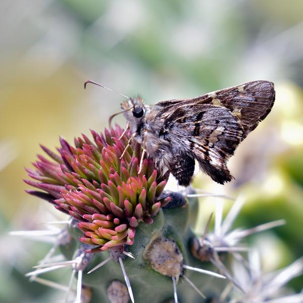 BUTTERFLIES-UK,need to ID 2018.4.9#1775-Montezuma's Pass,AZ