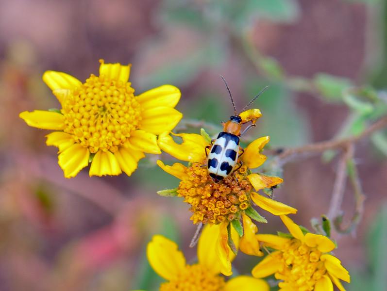 Beetle, UK, similar to Asparagras 2018.922#451-Mingus Mtn, AZ.