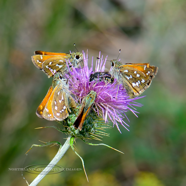 BUTTERFLIES-Skipper, Common Branded 2018.9.2#732. Four of the Hespera comma with an unknown Bee species working a Wheeler's thistle bloom. Mingus Mountain Arizona.