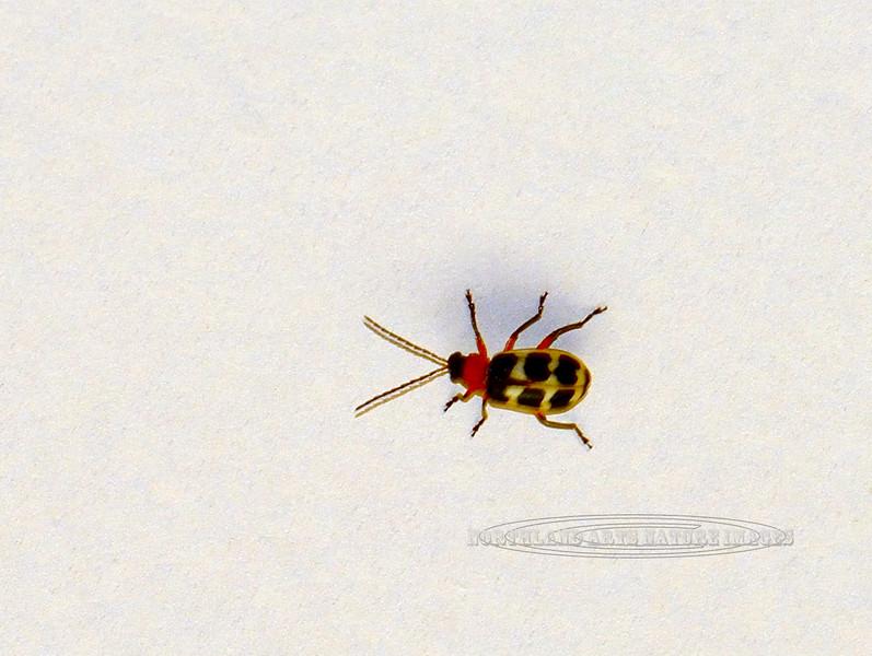 BEETLES-Unknown but similar to Asparagras beetle 2017.8.25#014. Prescott Valley Arizona.