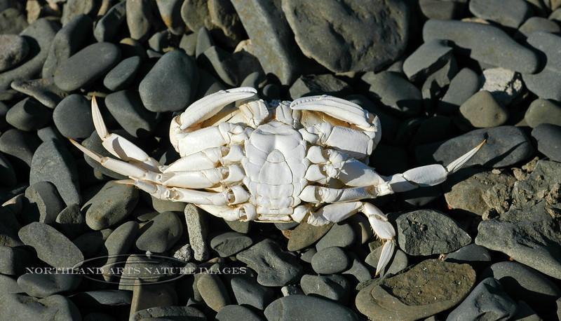 X-MARINE-Crab, Dungeness 2005.9.30#0107.2. Cancer magister, an exoskeleton. Oil Bay, Alaska Peninsula, Alaska.