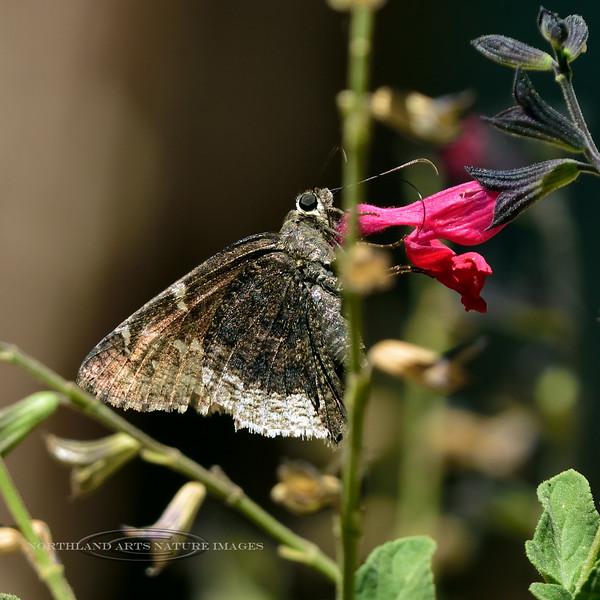 Butterfly-Cogia calcus, Coast Skipper 2018.5.21#1613. Madera Canyon Arizona.