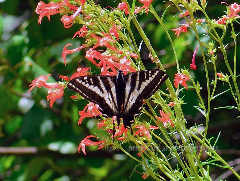 Butterfly-Papilio euymedon, Pale Swallowtail 2018.7.1#3730. Lolo Pass Montana.