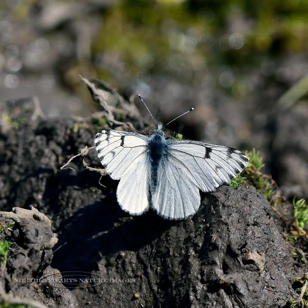 BUTTERFLIES-White sp. 2018.4.26#186. Pontia species. Kaibab forest, Grand Canyon Nat. Park Arizona.