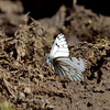 Butterfly-Pontia species, White 2018.4.26#167. Kaibab forest Grand Canyon Nat. Park Arizona.
