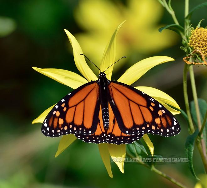 BUTTERFLIES-Monarch 2020.9.19#5364.2. Danaus plexippus. near Cape may Point, Cape May, New Jersey.