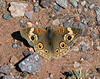Butterfly-Buckeye,Common 2020.3.20#8203.3. Junonia coenia. Near Lake Pleasant Arizona.