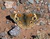 BUTTERFLIES-Buckeye,Common 2020.3.20#8203.3. Junonia coenia. Near Lake Pleasant Arizona.