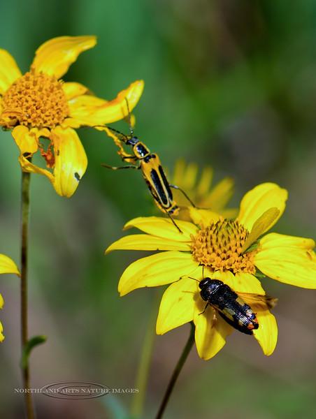 Beetle-UK, Metalic Wood Borer 2018.9.22#425. Mingus Mountain Arizona.