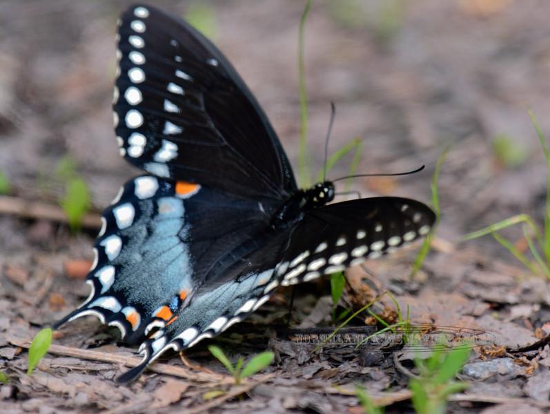 Butterfly-Papilio troilus, Spicebush Swallowtail 2014.5.19#031. Lake Warren, Bucks County Pennsylvania.