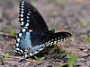Butterfly-Papilio troilus, Spicebush Swallowtail 2014.5.19#031. Lake Warren, Bucks County Pennsylvania.